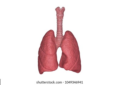 A human lungs. Part of anatomy human body model with organ system.