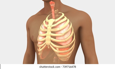 Human lungs with ribcage 3d illustration