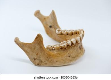 Human mandible bone