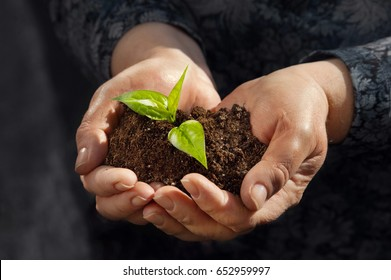 Human mature hands are holding young plant with soil. To preserve the environment of reforestation,personal growth