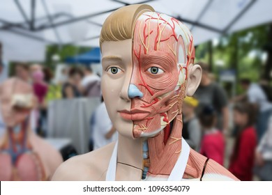 human model of anatomy at a street exhibition.