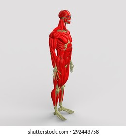 human muscles anatomy