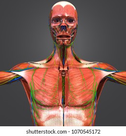 Human muscular anatomy with arteries veins nerves and lymph nodes anterior view 3d illustration