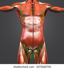 Human muscular anatomy with Lymph nodes anterior view 3d illustration