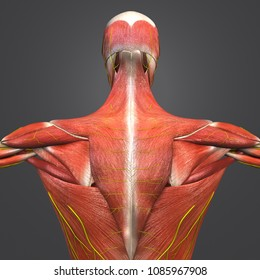 Human muscular anatomy with skeleton and nerves posterior view 3d illustration