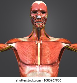 Human muscular anatomy with skeleton and nerves anterior view 3d illustration