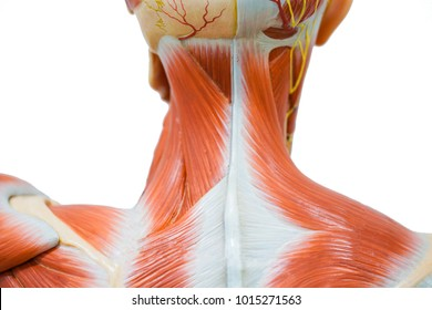 Human neck muscle anatomy for the education.