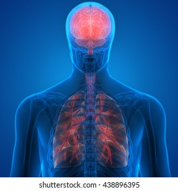 Human Organs Lungs and Brain. 3D