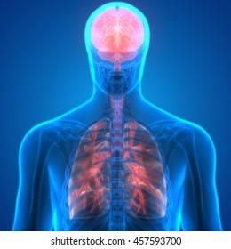 Human Organs Lungs and Brain Anatomy. 3D
