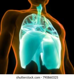 Human Respiratory System (Lungs, Diaphragm) Anatomy. 3D
