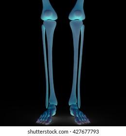 Human Skeleton Bones Anatomy. 3D