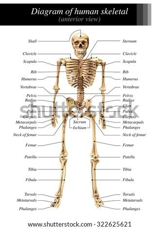 Human Skeleton Diagram Anterior View On Stock Photo Edit Now