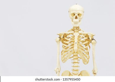 Human skeleton model. Anatomical skeleton model. Skeletal system isolated on white background.