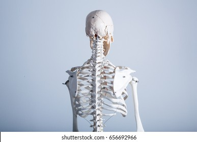Human skeleton model - Back