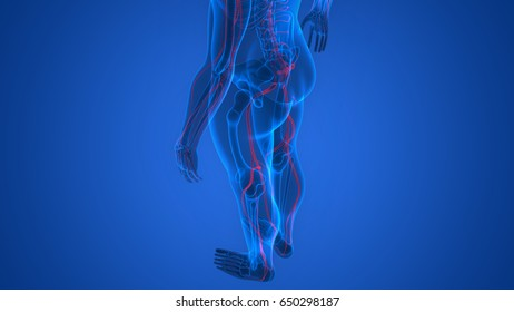 Sciatic Nerve Anatomy Images, Stock Photos & Vectors | Shutterstock