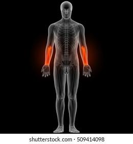 Human Skeleton Radius and Ulna Bones. 3D