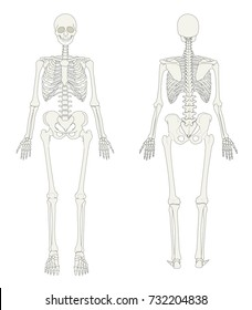 The human skeleton seen in the front and in the back.
