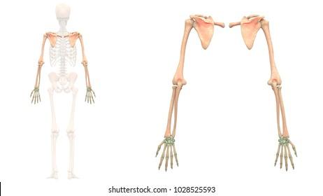 Upper Limb Images, Stock Photos & Vectors   Shutterstock  Upper Extremity Bones Unlabeled