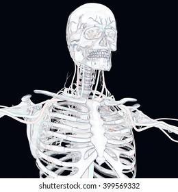 Human skeleton with vascular system, veins. 3D Illustration.
