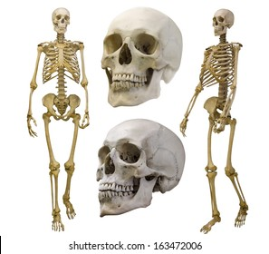 human skeletons collection isolated on white background