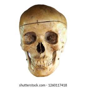 Human skull anatomy on isolated white background