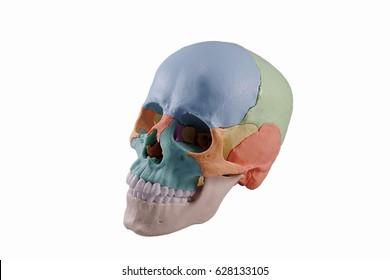 Human skull model on white background