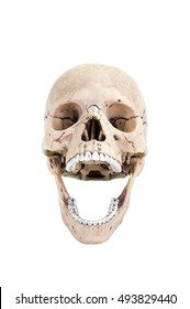 Human skull open mouth (front). Isolated on white background with clipping path.