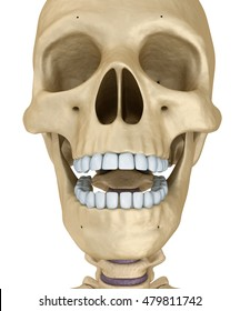 Human skull skeleton, isolated. Medically accurate 3d illustration .