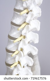 Human spine vertebra spinal column medical teaching model showing bones and cartilage.