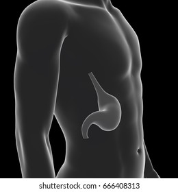 Human Stomach, Medical 3D Illustration