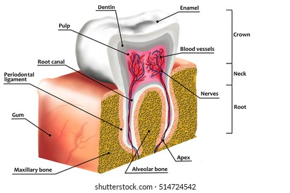 Anatomy of the tooth images stock photos vectors shutterstock human tooth decay anatomy diagram with description illustration of tooth cross section ccuart Choice Image