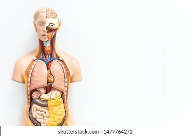 human torso with organs artificial model in medical student classroom on white background with copy space, inside body anatomy for study education