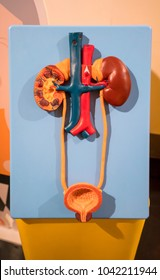Human urinary system model against yellow background for educational display to show kidney structure and blood supply.