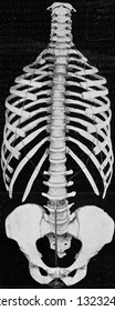 Human vertebral column with sides and pelvic girdle, vintage photo. From the Universe and Humanity, 1910.