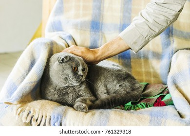 Human's hand is stroking Scottish grey breed cat