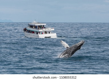 A humback whale breaches in front of a commercial whale watching tour cruise in Kenai Fjords National Park near Seward, Alaksa, USA.