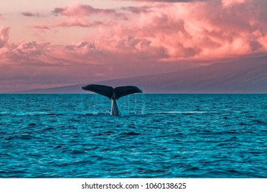 Humback whale fluke during a sunset whale watch in Lahaina on Maui.
