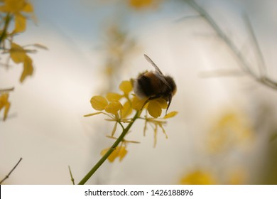 Humble bee looking for honey an a yellow bloom