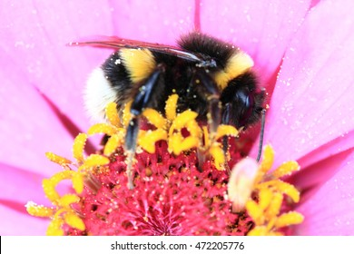 humblebee and zinnia flower as nature detail