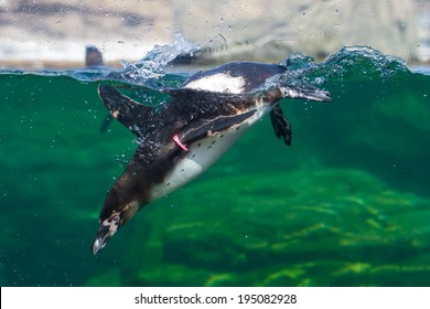 A Humboldt Penguin dives under the water