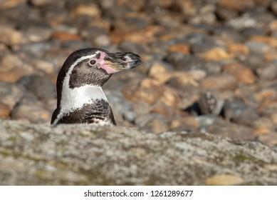 A humboldt penguin hides behind a rock