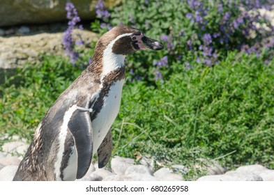 A Humboldt Penguin lounges in the sunshine