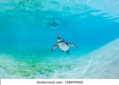 Humboldt penguin swimming underwater towards camera.