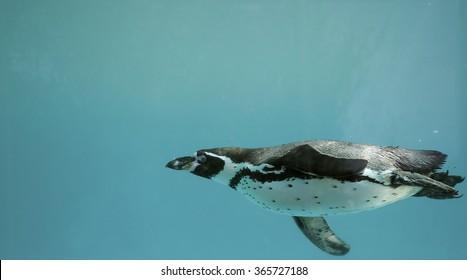 Humboldt Penguin underwater gliding/ Swimming