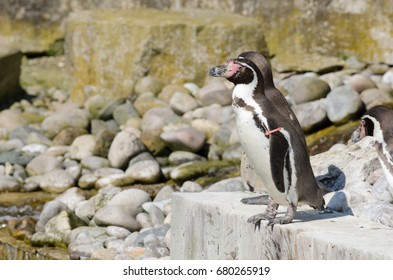 A Humboldt Penguin waits to dive in