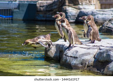 Humboldt Penguins about to take a dip at Chester Zoo