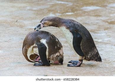 Humboldt penguins, funny attitude