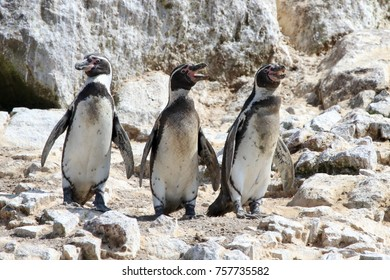 Humboldt Penguins on rocks, Ballestas Islands, Peru