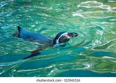 Humboldt penguins (Penguin Peru) is swimming.