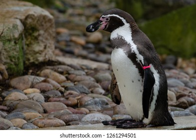 Humboldt Penguins standing